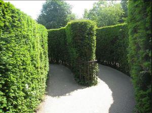 Inside Hampton Court Maze